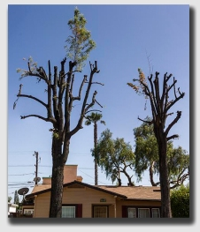 When trimmed too vigorously, trees can become less aesthetically pleasing.