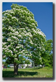 A catalpa -beloved by fisherman and fowl - but not by Rick Meyers.