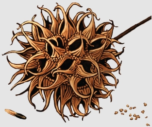 Sweetgum's aborted seeds are rich in shikimic acid.
