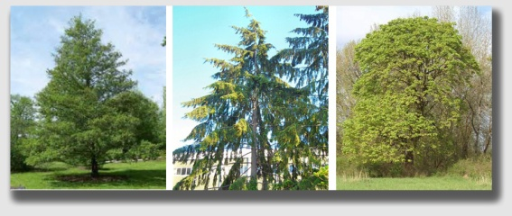 "Alder, Hemlock and Big Leaf Maple - the ""bad boys"" of danger trees."