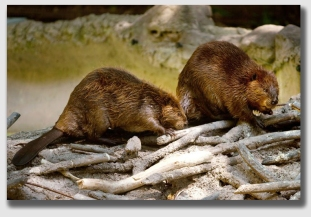 These are not the same beavers, but authorities believe they bear a resemblance to the culprits ...