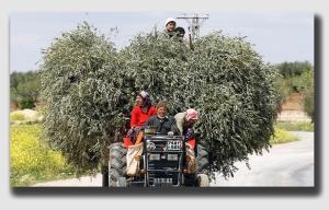 olives141111