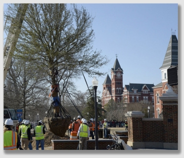 University replaces legendary oaks at Toomer's Corners.  The original trees were poisoned by a rival school's fan.