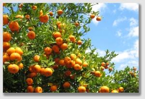 citrus150317