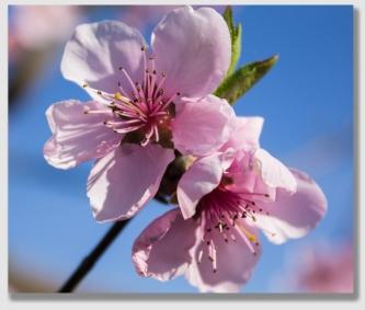 peach150316