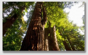 redwood150323