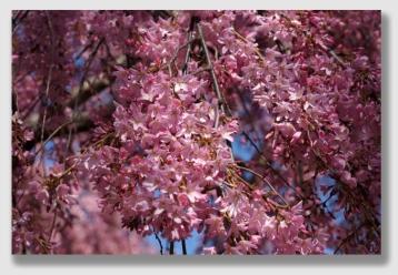 blossoms150410