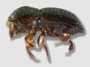 beetle150520