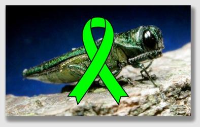 Nothing an EAB fears like a green ribbon ...