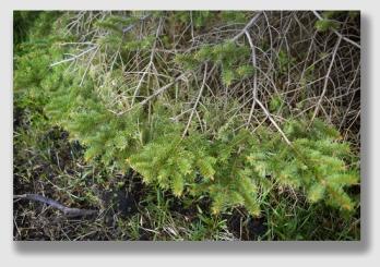 spruce150512