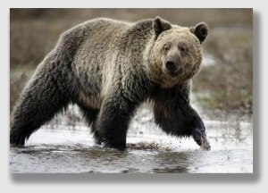 The grizzly - the alleged eater ...