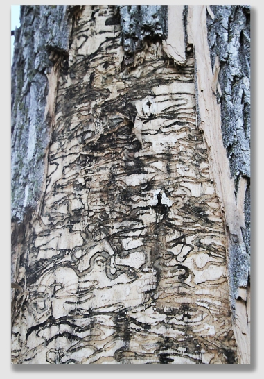 The infestation on this ash is pretty obvious.