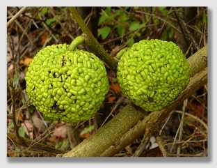 Osage oranges ... the very definition of