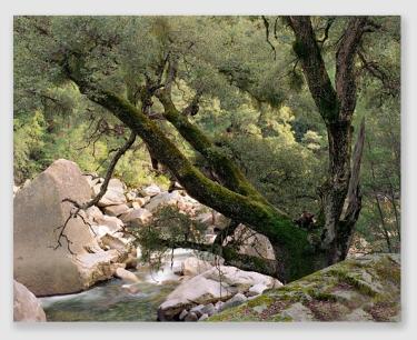 Tanoak tree