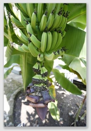 bananas160801