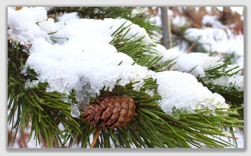 Little Valley Pack of 6 Perfect for Fall and Winter Crafting Decorating 3 x 4 Ponderosa Pinecones Each Pine Cone is Approx Snowy