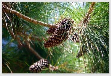pinecone161206