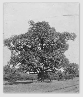 chestnut170126