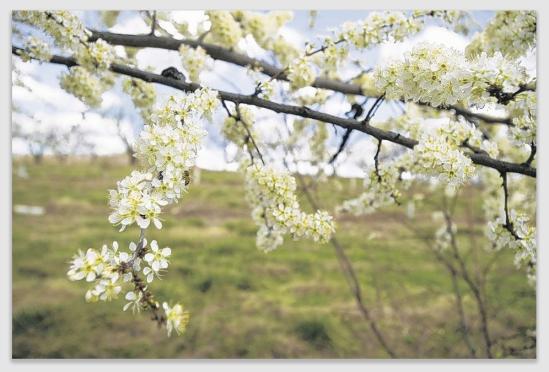 blossoms170228