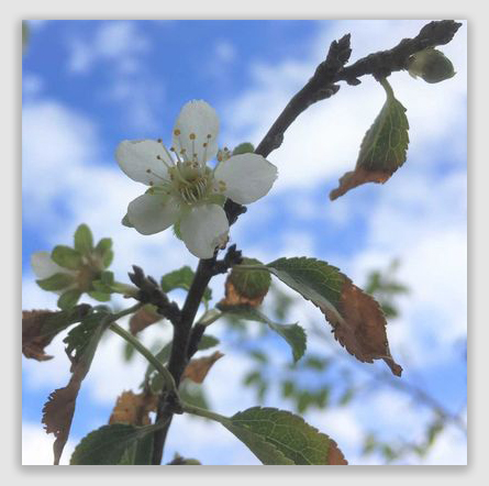1ee8f4feb56 Las Cruces, New Mexico, Sun, October 28, 2018: Are fruit trees that flower  at the wrong time early or late bloomers?