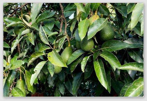 avocado210621